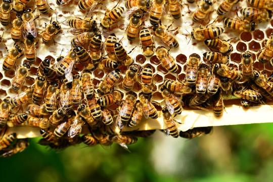 Honey-bees-401238_1920-1461171763