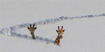 Girafe-neige-1462952236