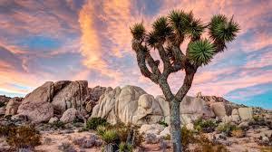 Joshua_tree-1463114518