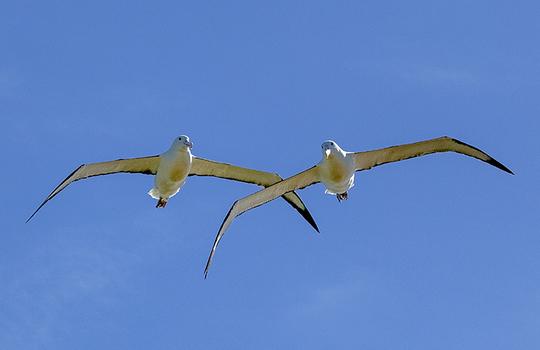 Albatrossnr_nz5_9594-sbernert_tirage_pb-bd-1465552978