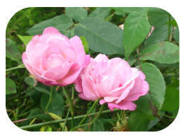 Roses-1474121189