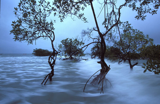 Mangrove-poilo-1476287202