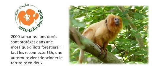 Tamarin_lion_dor_-1479772914