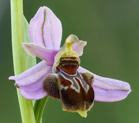 Ophrys_de_l_aveyron_x_apifera-1480087383