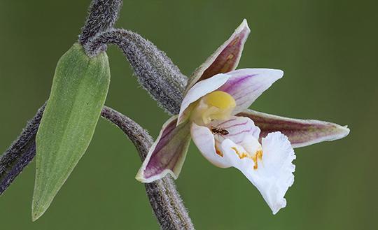 Epipactis_palustris_3_600-1480087986