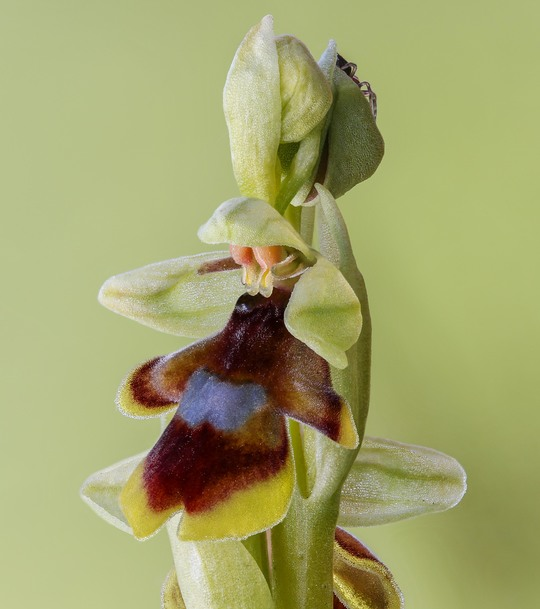 Ophrys_d_aymonin-1480088066