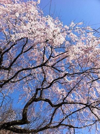 Sakura1hp1-1481595558