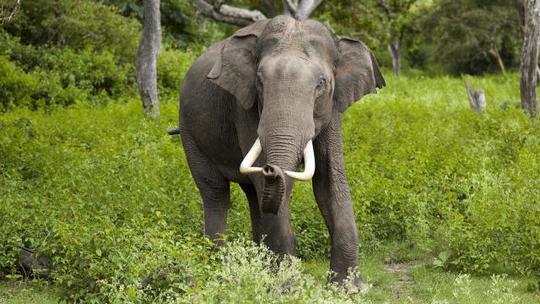 Yongki-le-celebre-elephant-tue-pour-son-ivoire-1483810147