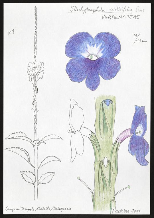Verbenaceae-002-1486497428