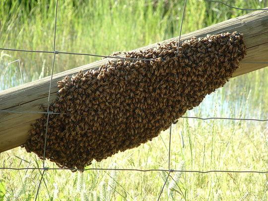 A_swarm_of_apis_mellifera_-_20051109-1486996366