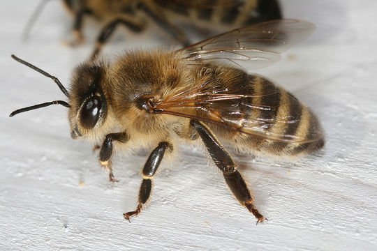 1024px-apis_mellifera_carnica_worker_hive_entrance_2-1486996512