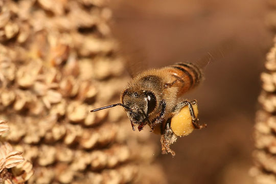 1024px-apis_mellifera_flying-1486996602