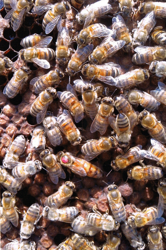 Des_abeilles_et_une_reine-1487371269