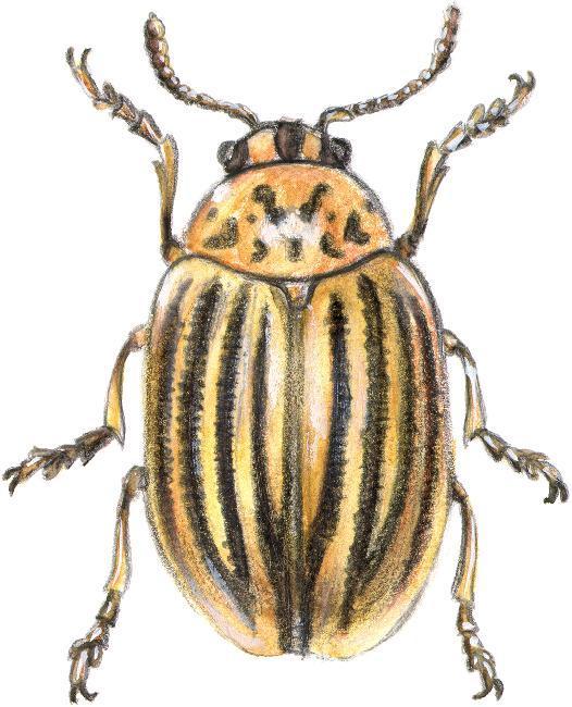 Ordre_des_coleopteres--doryphore-1488551876