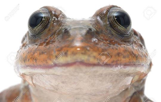 34323028-grands-yeux-de-grenouille-telmatobius-simonsi-une-esp-ce-d-amphibiens-end-miques-de-la-bolivie-une-m-banque-d_images-1488833993