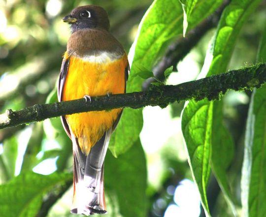 Full-orange-bellied-trogon-costa-rica-1489046546