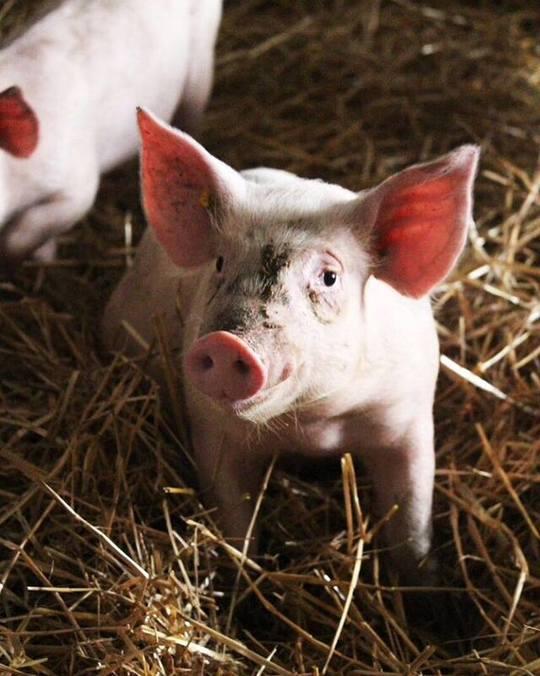 Porcinets-1494858629
