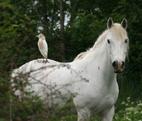 Cheval-oiseau-camargue_k-1503895033