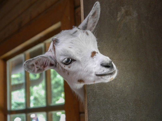 Goat-2153622_1920-1509119339