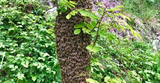 Mai_2018_apiculture_essaim_swarm_recuperation_bees_catching_beekeeping_confidences_abeilles-1526129296