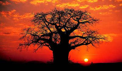 baobab-1447446945.jpg