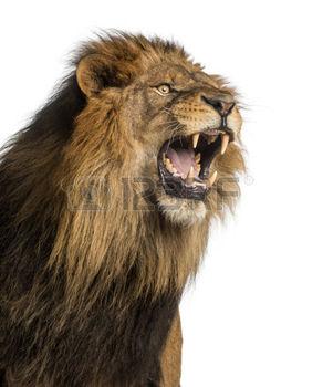 24155942-close-up-d-un-rugissement-de-lion-panthera-leo-10-ans-isol-sur-blanc-1458066650.jpg