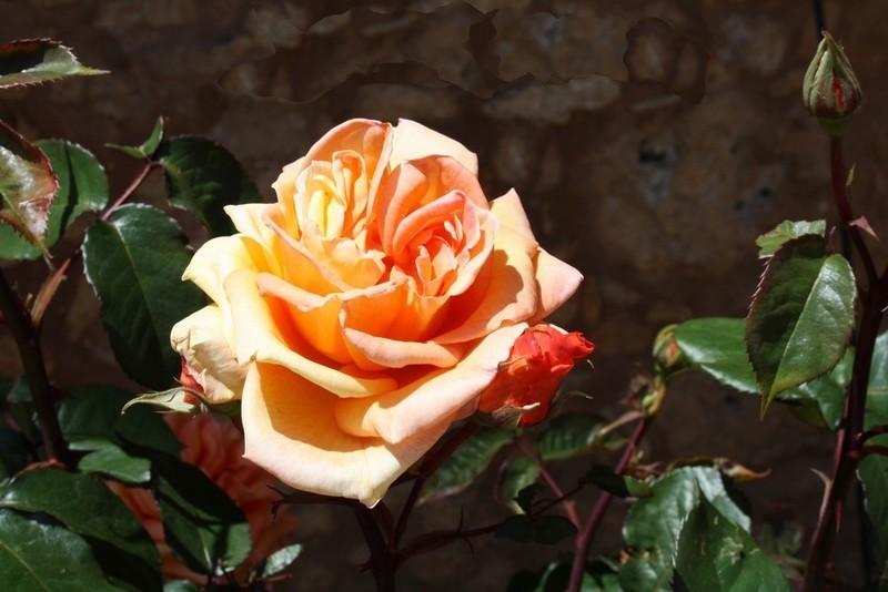 5_-Fleur-Rose_orang_e-x800-1459224322.jpg