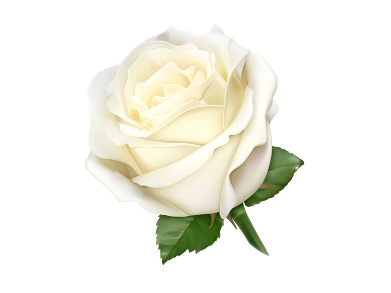 Rose_blanche-800x600px-1459425683.jpg