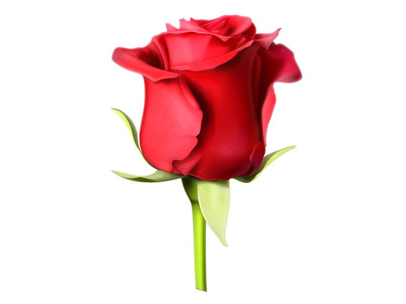 Rose_rouge_profil-800x600px-1459425750.jpg