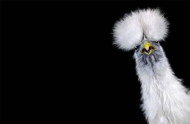 portrait-poule-goh-1461250467.jpg