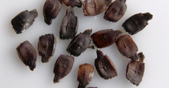05-cyclanthera-pedata-semilla-medium-1461339620.jpg
