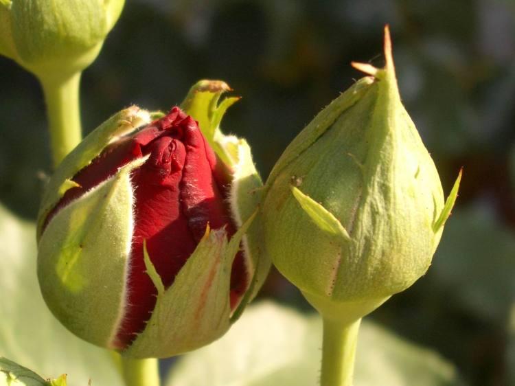 bourgeon-de-rose-1867029071-368869-1462809236.jpg