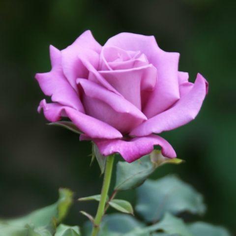 rose_violette-1462809445.jpg