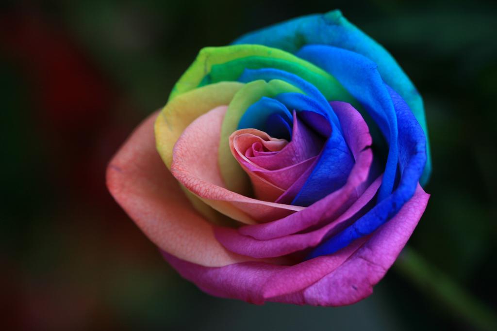 rose_multicolore-1462946734.jpg
