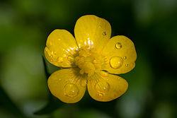 250px-Ranunculus_macro-1464015073.jpg