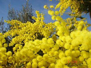 mimosas_2008-1464015281.jpg