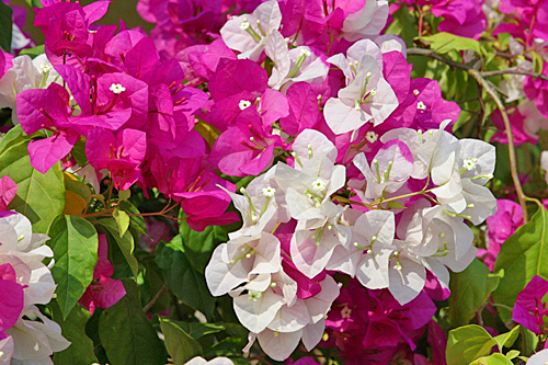 Bougainvillee_Mioulane_MAP_00009999-1464015609.jpg