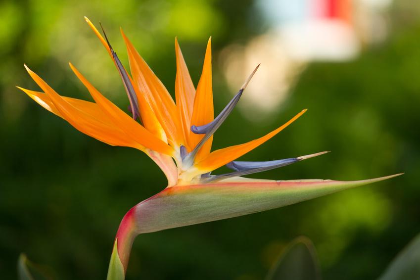 strelitzia-oiseau-de-paradis-1464015661.jpg