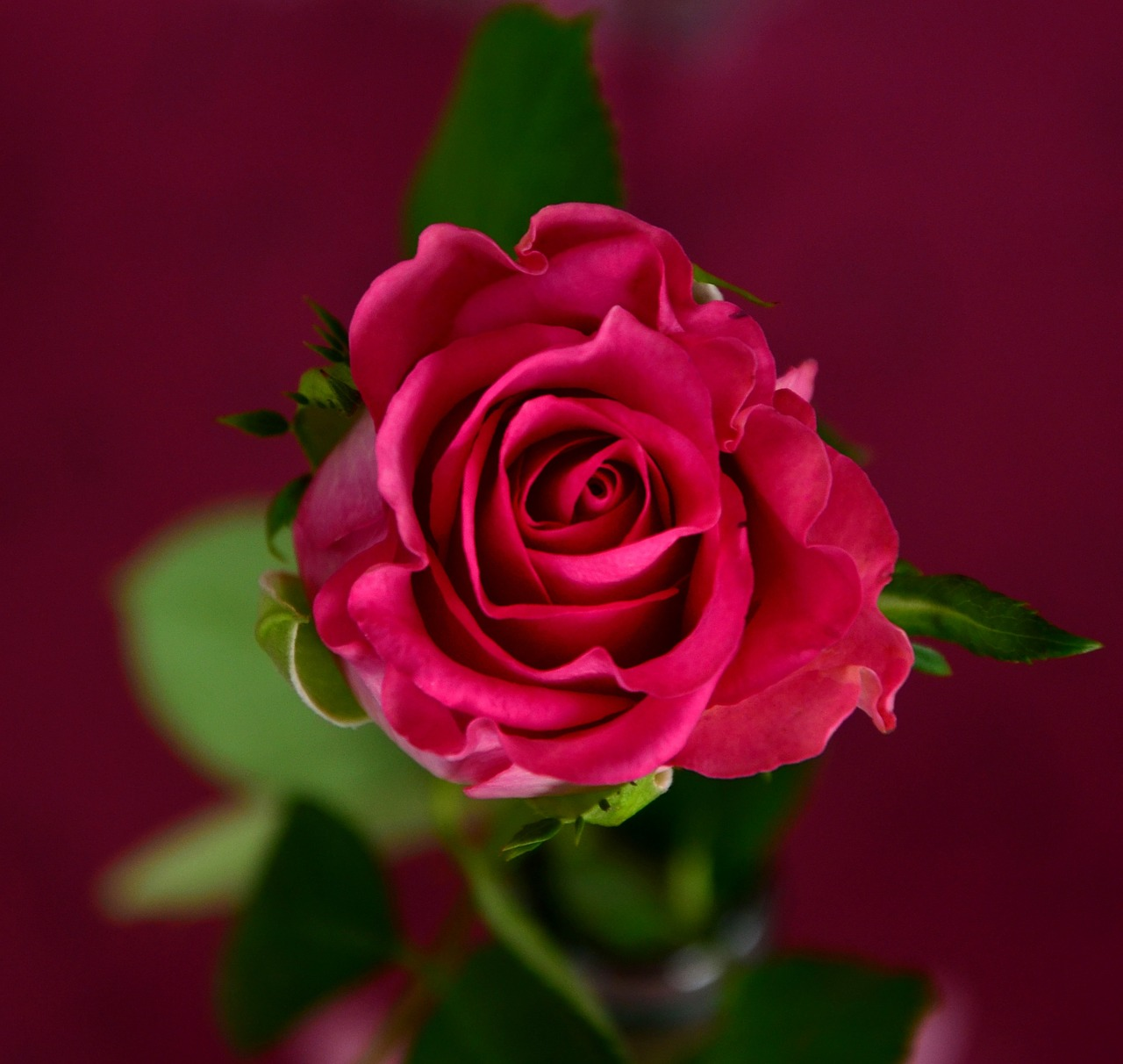 rose-693155_1280-1464015729.jpg