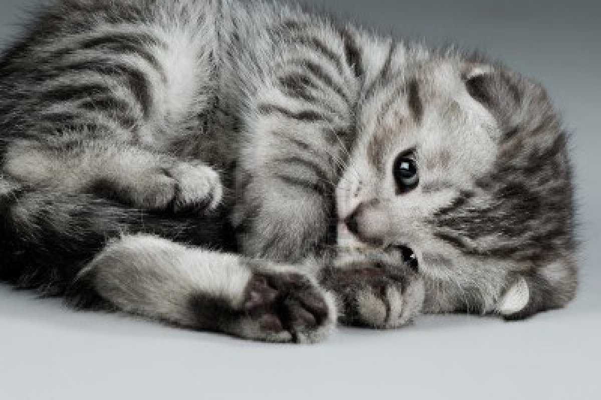chaton-gris-1464215707.jpg