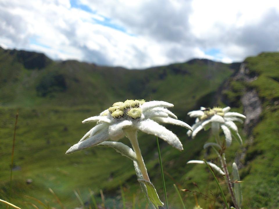 edelweiss-1465386860.jpg