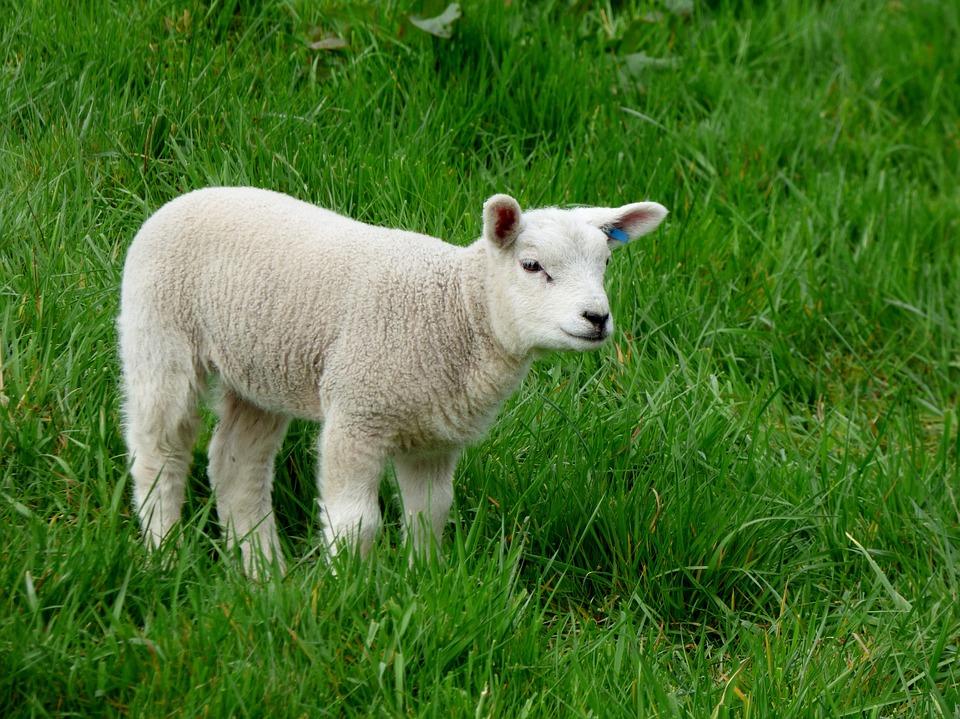 agneau-1478254730.jpg