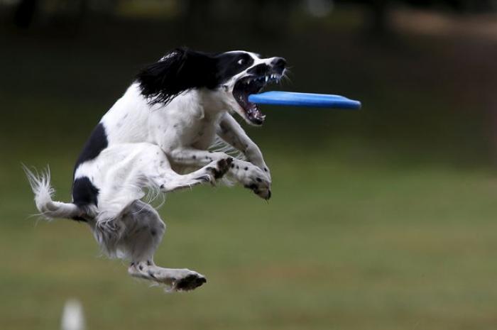 de-magnifiques-images-d-une-competition-de-frisbee-pour-chiens-dans-un-parc-de-moscou-1481835403.jpg