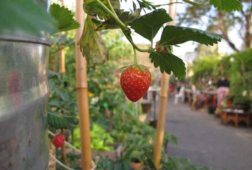 fraise2-1487851646.jpg