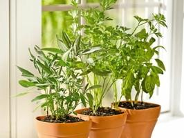 thumb_herbs-balcony-herbs-pictures-herbs-plants-1467053786-1489327488.jpg