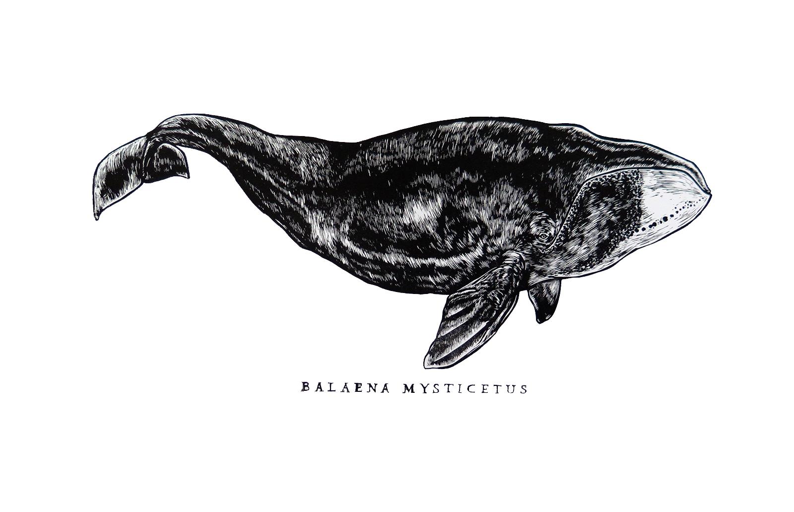 baleineCF2-1489689091.jpg