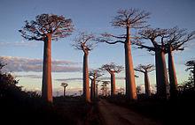 220px-Madagascar_baobab-1505920427.JPG