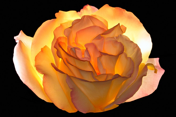 rose_jaune_irradiante-1507312013.jpg