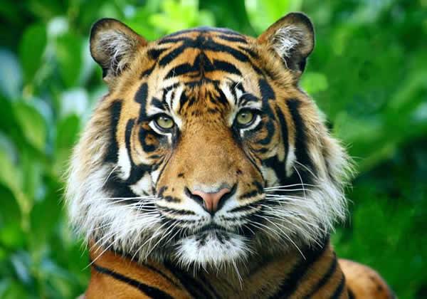 tigre_sumatracc01-1508870266.jpg