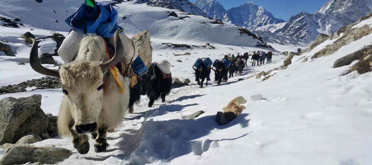 yaks_nepal-1509315653.jpg